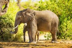 Éléphant de bébé se tenant avec la mère photos stock