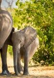 Éléphant de bébé se tenant avec la mère photographie stock libre de droits