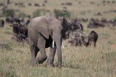 Éléphant de bébé sur Mara image libre de droits