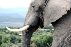Éléphant de Bull Potrait Photo libre de droits