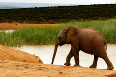 Éléphant de Bush d'Africain à l'abreuvoir image libre de droits