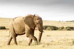 Éléphant de Bush d'Africain de précipitation de précipitation photographie stock libre de droits