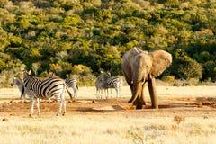 Éléphant de Bush d'Africain se tenant dans l'abreuvoir photos stock