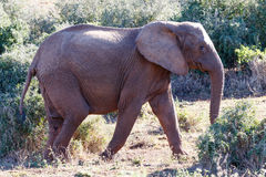 Éléphant de Bush d'Africain sur le chemin au barrage image stock