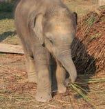 Éléphant de chéri Images stock