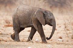 Éléphant de chéri Image stock
