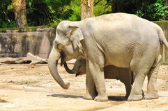 Éléphant de chéri sous le soin de sa momie Photo libre de droits