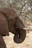 Éléphant de désert Images libres de droits