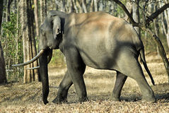 Éléphant de Kabani Taureau sur la promenade Photo stock