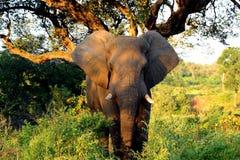 Éléphant de l'Afrique en stationnement de Kruger Photographie stock libre de droits