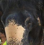 Éléphant de l'Asie Image stock
