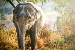 Éléphant de l'Asie Image libre de droits