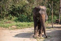 Éléphant de l'Asie en Thaïlande Image libre de droits