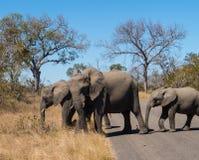 Éléphant de mère avec des bébés en parc national de Kruger images libres de droits