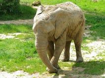 Éléphant de marche Images libres de droits