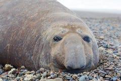Éléphant de mer Photographie stock libre de droits