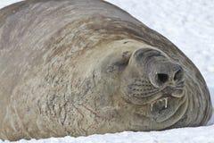 Éléphant de mer masculin Photos libres de droits
