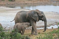 Éléphant de nourrisson Photo libre de droits
