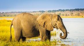 Éléphant de parc national de Chobe image stock