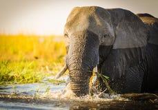 Éléphant de parc national de Chobe photographie stock libre de droits