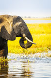 Éléphant de parc national de Chobe photos libres de droits