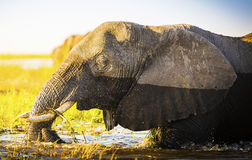 Éléphant de parc national de Chobe photographie stock