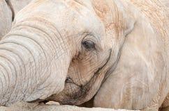 Éléphant de profil de visage images libres de droits