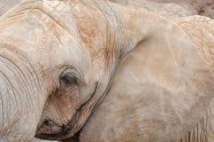 Éléphant de profil de visage photos stock