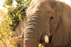 Éléphant de repos Photographie stock libre de droits