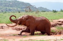 Éléphant de rouge du ` s du Kenya Image libre de droits