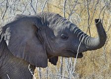 Éléphant de sourire de bébé avec un tronc de cintrage photos stock