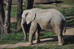Éléphant de stationnement dans le zoo de Mysore Photo libre de droits