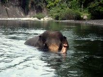 Éléphant de Sumatran tout en pataugeant en rivière Photo libre de droits
