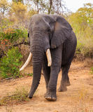 Éléphant de Taureau Images libres de droits