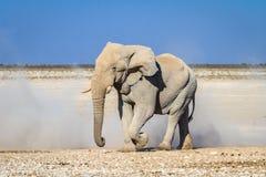 Éléphant de taureau africain en parc national d'Etosha, Namibie, Afrique photos stock