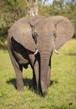 éléphant de taureau grand Photos stock