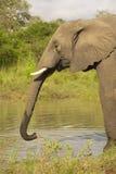 éléphant de taureau grand Image libre de droits