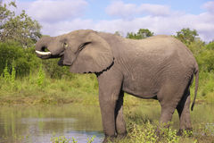 éléphant de taureau grand Photo stock