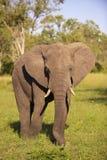 éléphant de taureau grand Photo libre de droits