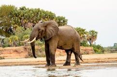 Éléphant de Taureau magnifique au bord du ` s de l'eau Image libre de droits
