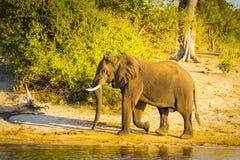 Éléphant de Taureau marchant le long de la rivière Photographie stock libre de droits