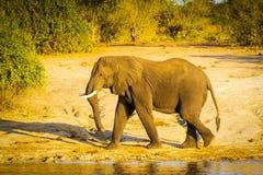 Éléphant de Taureau marchant le long de la rivière Image stock