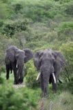 Éléphant deux africain Mâles adultes avec aller de défenses Images libres de droits