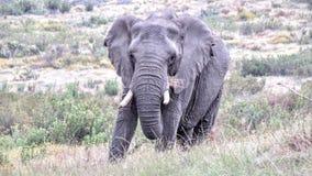 Éléphant donnant l'oeil Image libre de droits