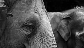 Éléphant en noir et blanc Images stock