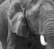Éléphant en noir et blanc Photo stock