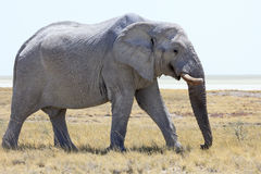 Éléphant en parc Namibie d'Etosha Photo libre de droits