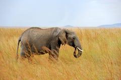 Éléphant en parc national du Kenya Images libres de droits