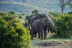 Éléphant en parc national du Kenya, Afrique Photos libres de droits
