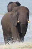 Éléphant en rivière photos stock